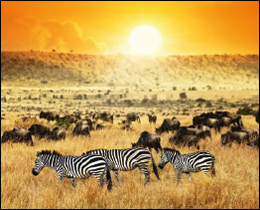 You'll think you are in the African plains with these zebra and wilderbeast filled printed glass kitchen splashback. These printed glass kitchen splashbacks will suit any kitchen colour scheme or design as long as you love animals.